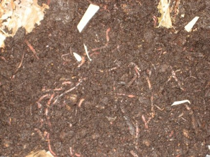 Compost worms 430x323 - Compost worms