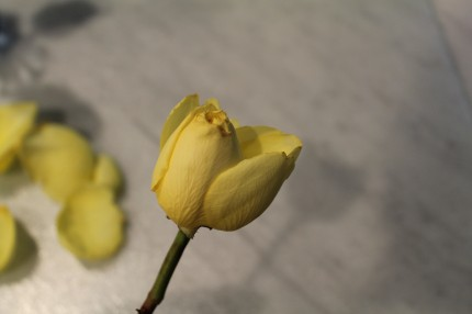 IMG 0629 430x286 - Rose Revival