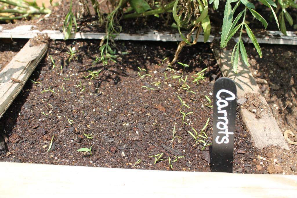 Garden carrots round 2 1024x682 - Garden Update