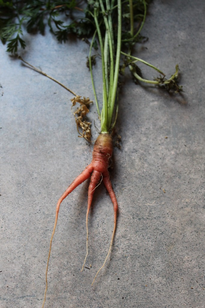 Garden produce mishap 682x1024 - Garden Update