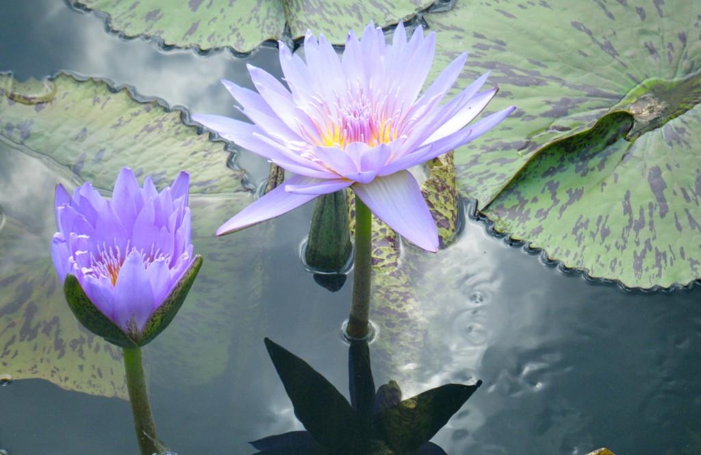DSCF3509 1024x665 - Monet's Lily Pond, NYC Style