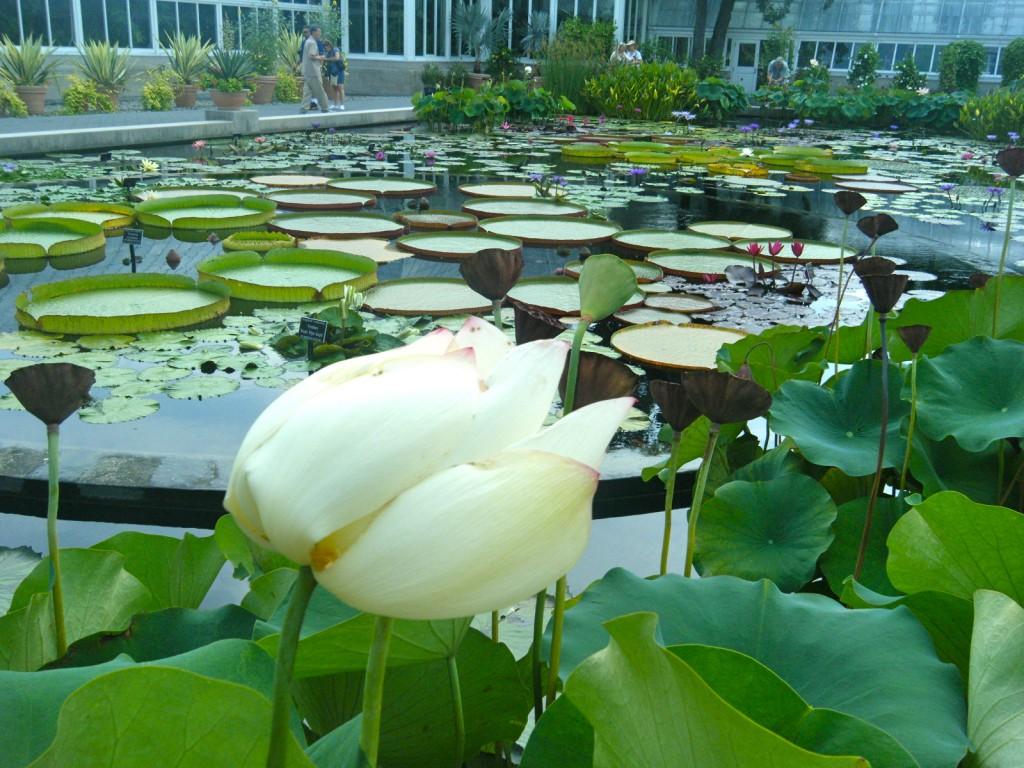 DSCF3511 1024x768 - Monet's Lily Pond, NYC Style