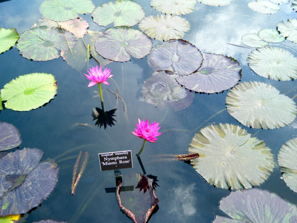 DSCF3513 1024x768 - Monet's Lily Pond, NYC Style
