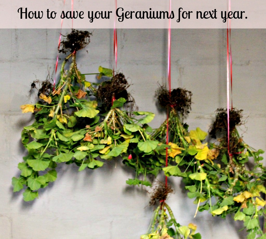 How to Save your Geraniums
