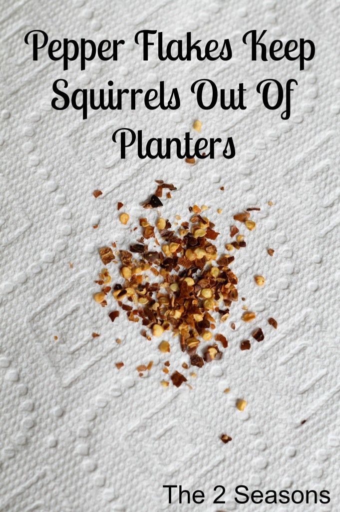 Pepper flakes keep squirrels out of planters - How to keep squirrels from digging in garden ...