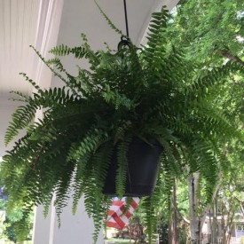 Fern 275x275 - Tuesday Thoughts