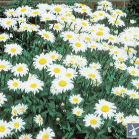 Courtyard garden daisies